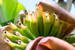 Babybananen die - ondiepe diepte van gebied groeien Royalty-vrije Stock Foto's