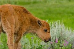 Babybizon die wat gras gaan eten stock foto