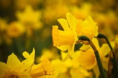 Babyboomer Daffodils Stock Photography