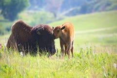 Babybuffels met mammabizon Stock Foto's