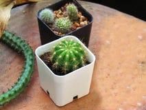 Babycactus in witte en zwarte die potten op aardewerk worden geplaatst royalty-vrije stock foto's