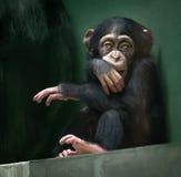 Babychimpansee die in camera kijken Royalty-vrije Stock Fotografie