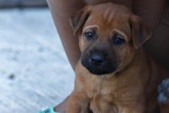 Babydog so sad. Brown baby dog so sad Stock Image