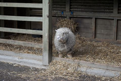 Babydoll Lamb Stock Images