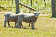 Babydoll sheep Royalty Free Stock Images