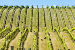 Babydoll sheep in a vineyard. Babydoll sheep grazing in a vineyard in Marlborough wine region in the South Island of New Zealand Stock Images