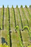 Babydoll sheep in a vineyard Royalty Free Stock Photography