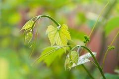 Babydruiven Close-up van mening in beginstadium Groene bloemen royalty-vrije stock afbeelding