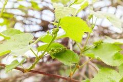 Babydruiven Close-up van mening in beginstadium Groene bloemen stock foto's