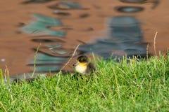 Babyduck nahe dem Rand von einem Teich Stockbild
