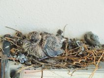 Babyduif die in nest weggaan Royalty-vrije Stock Fotografie