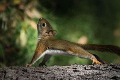 Babyeekhoorn die opdrukoefeningen op boom doen Stock Afbeelding