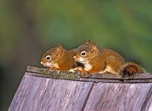 Babyeekhoorns Stock Afbeelding