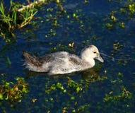 Babyeend in het meer Royalty-vrije Stock Foto