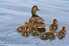 Babyeendjes die met moedereend zwemmen Royalty-vrije Stock Afbeeldingen