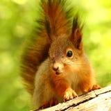 Babyeichhörnchen auf einem Baum Stockfotografie