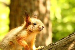 Babyeichhörnchen auf einem Baum Stockbilder