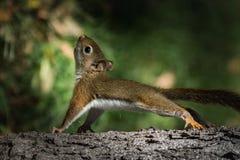 Babyeichhörnchen, das Liegestütze auf Baum tut Stockbild