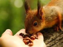 Babyeichhörnchen nimmt Nüsse von meiner Hand Lizenzfreie Stockfotos