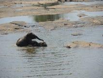Babyelefant auf dem Fluss Stockfotografie