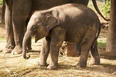 Babyelefant in den Ketten Stockfotografie