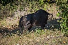 Babyelefant, der ausdehnt, um hinunter Steigung zu gehen Stockfoto