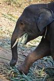 Babyelefant, der Blätter isst Stockfoto