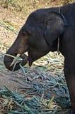 Babyelefant, der Blätter isst Lizenzfreies Stockbild