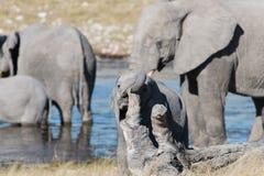 Babyelefant, der mit einem Baumstamm mit seinem Stamm spielt stockfotografie