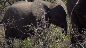 Babyelefant, der nahe seiner Mutter steht stock video footage