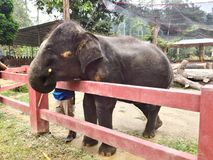 Babyelefant, der Zuckerrohr isst Lizenzfreies Stockbild