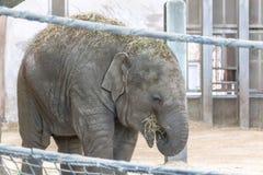 Babyelefant getragen in der Gefangenschaft stockfotografie