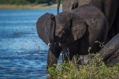 Babyelefant mit angehobenem Stamm auf Riverbank Stockbild