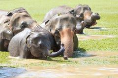 Babyelefant Sri Lankan Stockbilder