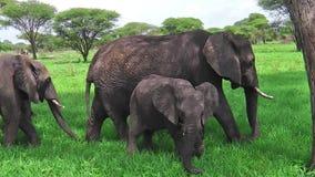 Babyelefantessen stock video