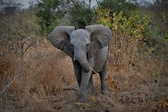 Babyelefantporträt mit den großen Ohren im Nationalpark Kruger, Südafrika Stockfotos