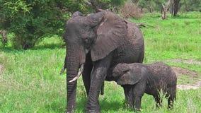 Babyelefantsäugling stock footage