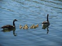 Babygänse, die mit Mutter und Vati schwimmen Stockfotos