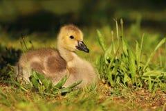 Babygans im Gras Stockfoto