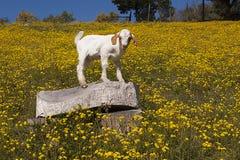 Babygeit op gebied van gele bloemen Stock Fotografie
