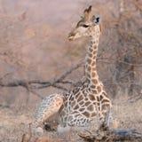 Babygiraf, Balule-Reserve, Zuid-Afrika Stock Afbeelding
