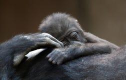 Babygorilla Royalty Free Stock Photography