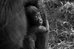 Babygorilla Stock Fotografie