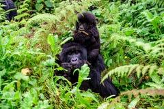 Babygorilla auf der Rückseite seiner Mutter, die in den Wald einzieht Lizenzfreies Stockbild