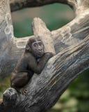 Babygorilla im Baum Lizenzfreie Stockbilder
