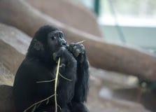 Babygorilla tief in den Gedanken Lizenzfreie Stockfotografie
