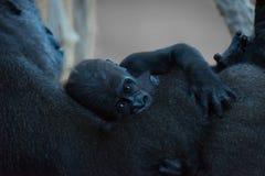 Babygorilla in wapens van moeder wordt gehouden die royalty-vrije stock foto's