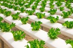 Babygroenten het groeien op een landbouwbedrijf Stock Foto's
