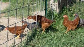 Babyhühner, die ausrichten, um einen Zaun durchzulaufen lizenzfreies stockbild
