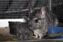 Babyhaustier Chinchilla mit Mutter Lizenzfreies Stockbild
